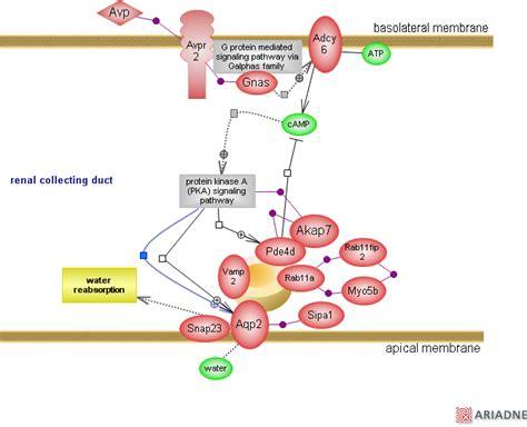 protein 4 1r vasopressin signaling pathway via receptor type 2rat