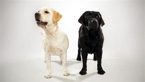 labrador or golden retriever best family dogs labrador retriever breed selector animal planet
