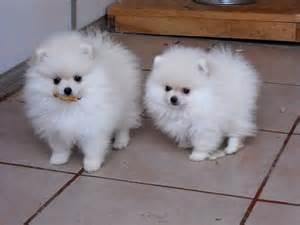 Criadero de pomeranian en mexico perros pomeranian en mexico criadero