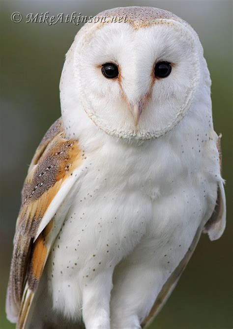 owl lover barn owl wallpaper wallpapersafari