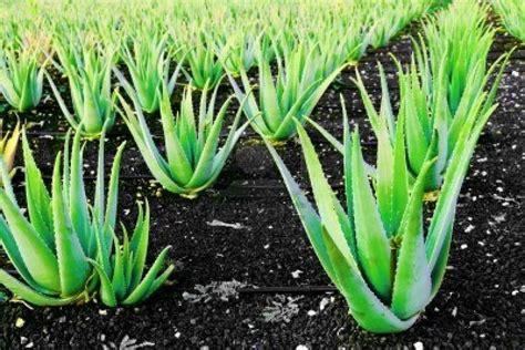 Aloe Vera Jumbo aloe vera plant large ebay
