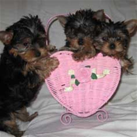 yorkie tipped ears terriers yorkie puppies breeder information san diego