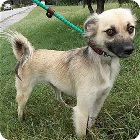rat terrier pomeranian mix breed american rat terrier pomeranian mix pomerat mix breeds picture