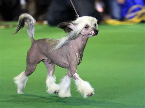 ub dogs crested hairless breeds neat pets dogs cats