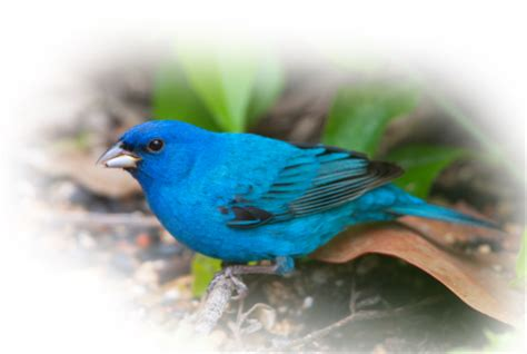 what do indigo buntings eat archives cole s wild bird feed