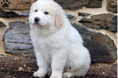 great pyrenees mix puppies great pyrenees mix puppies a great pyrenees labrador photo breeds picture