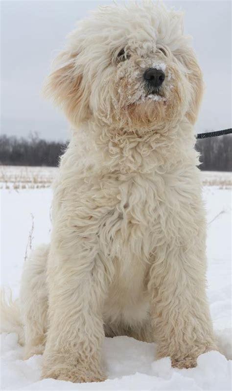 silver lab puppies colorado silver labs breeders in colorado breeds picture