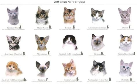 list of breeds cat breeds breeds of cats cats cat breeds list and kittens