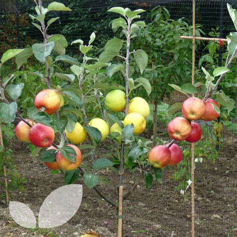 fruit trees for sale kent family apple trees for sale