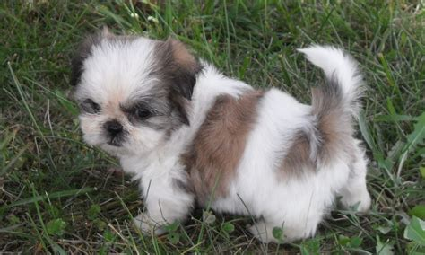 caring for shih tzu puppies shih tzu puppies
