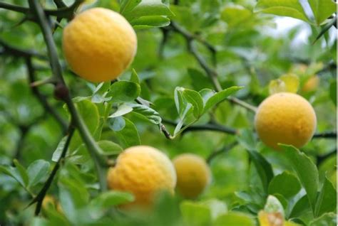 yellow fruit on tree bright yellow fruits fruit tree jpg hi res 720p hd