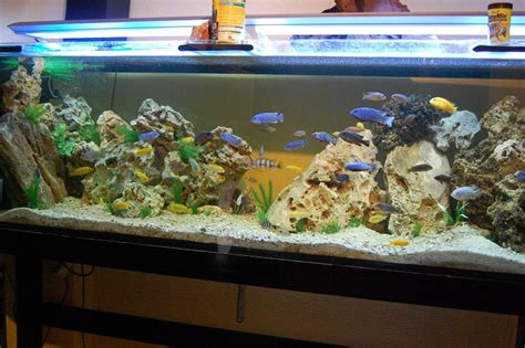photo d 233 cor aquarium cichlid 233 s africain