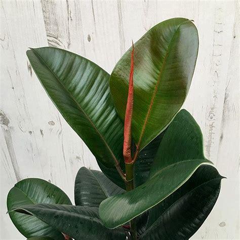 ficus elastica robusta rubber plant plants ficus