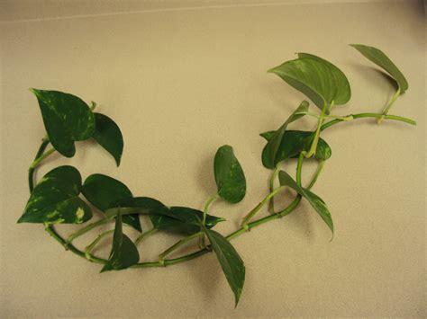 houseplant vine indoor vine plant identification www pixshark com