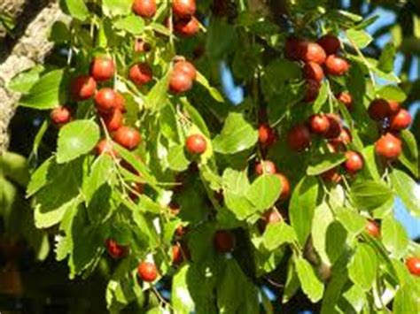 Fruit Trees Home Depot by Drought Tolerant Fruit Trees And Vines The Home Depot