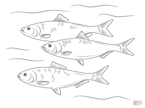 Herring Fish Coloring Page   skipjack herring fish coloring page free printable