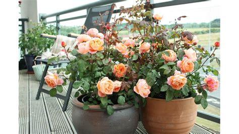 roselline in vaso ricanti in vaso ricanti