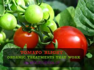Tomato Plant Disease Treatment - related keywords amp suggestions for tomato blight
