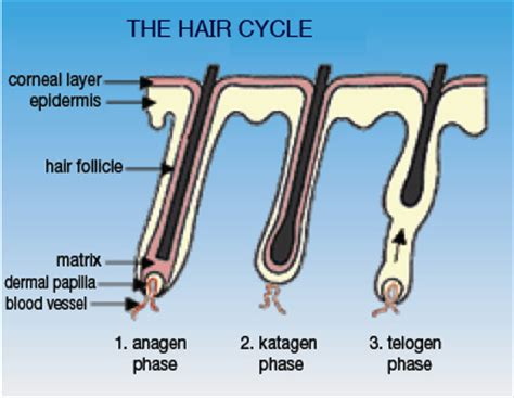 Shedding Phase Of The Hair Growth Cycle by How It Works Grow Thick Lashes Fast