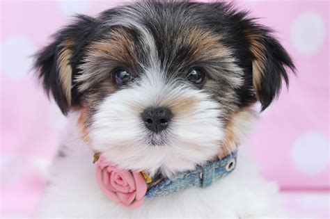 black and white yorkie 50 terrier puppy pictures and photos