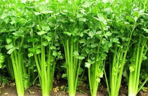 Harga Bibit Seledri Jepang harga seledri per kg dan daun seledri terbaru februari