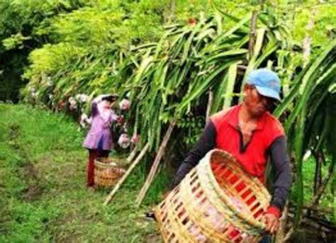 Bibit Buah Naga Di Banyuwangi 087784795307 cari bibit buah naga banyuwangi jual