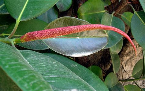 Rubber Plant Flower Www Pixshark Images Galleries