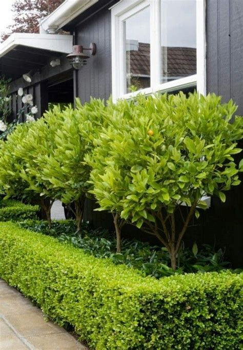 kumquat trees star jasmine underneath surrounded by box hedge garden landscaping ideas