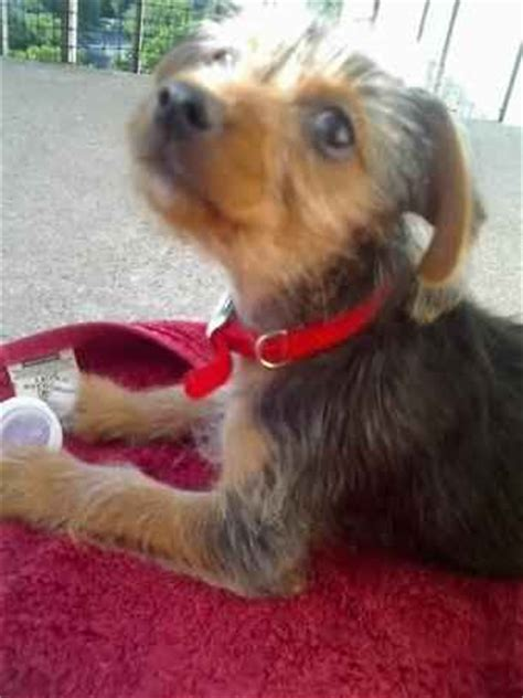 yorkie pin yorkie min pin breeds picture