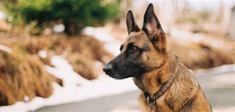 german commands for dogs petsblogs for pet by pet