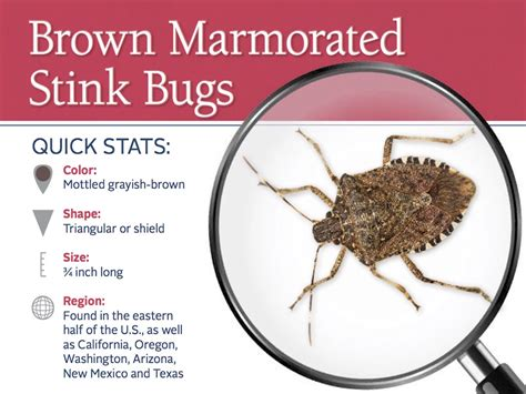 do bed bugs smell stink bug information identify exterminate stink bugs