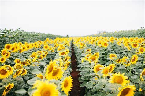 Dijamin Sunflower Ini Dia 5 Tips Menanam Bunga Matahari Yang Wajib Kamu Tahu