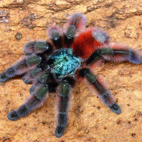 spiderling curly hair spiderlings tarantula care sheet spiderling curly hair spiderlings tarantula care sheet it