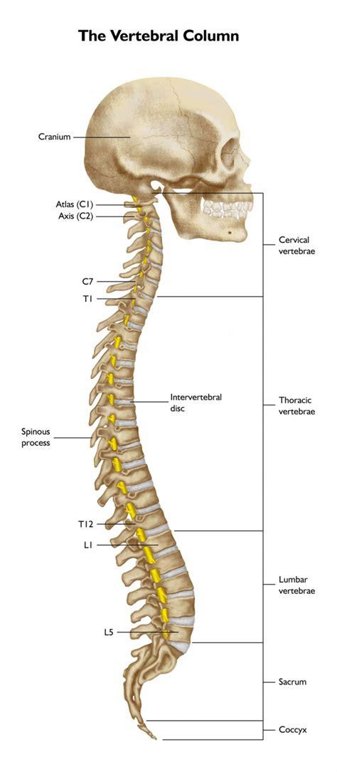 back diagram human spinal cord labeled anatomy human
