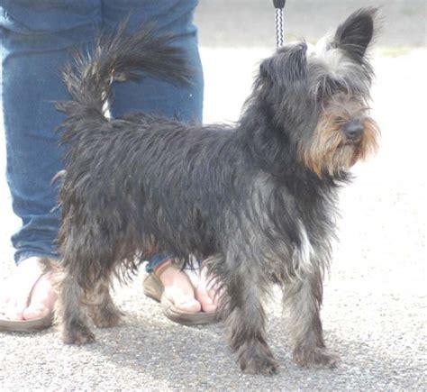 scottish yorkie scottish terrier scottish terrier hamish 2 year