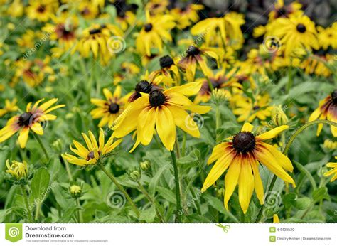 bed in summer yellow flowers in the flower bed in summer stock photo image 64438520