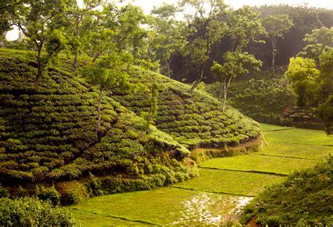 Tea Garden by File Tea Garden Near Srimangal Sylhet Bangladesh Jpg
