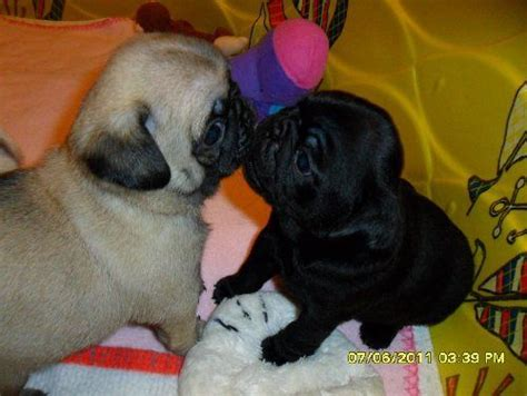 pugs kisses 42 best images about puppy kisses on chihuahuas siberian husky puppies
