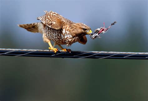 robin loznak photography feeding hawk