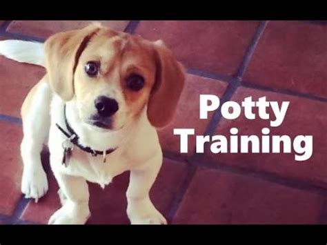 dog house training methods how to potty train a peagle puppy peagle house training tips housebreaking peagle puppies