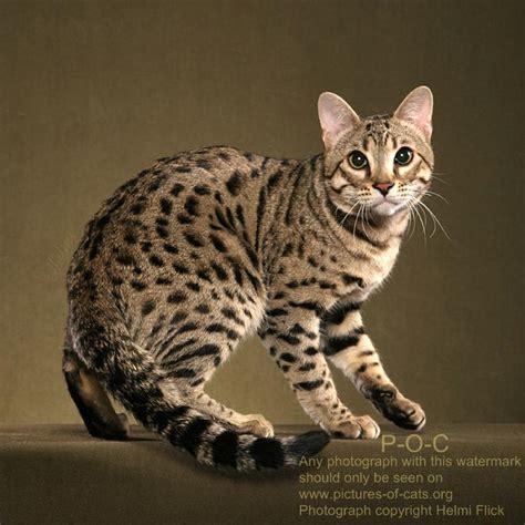 Bengal Cat RAVI