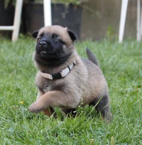 belgian malinois puppy price belgian malinois puppies for sale sonjoy bhattacharyya 1 15042 dogs for sale