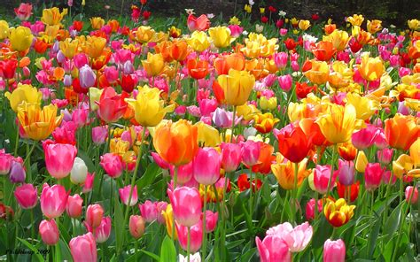 beautiful spring flowers tulips tulips wallpaper 28594078 fanpop