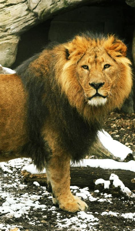 wallpapers for iphone 5 lion 20 wonderful animal iphone 5 wallpapers dotcave