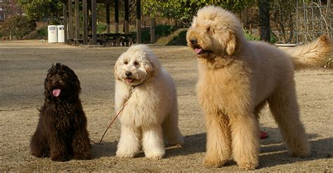 mini labradoodles height physical characteristics what is an australian labradoodle