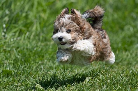 lifespan of havanese dogs havanese not in the housenot in the house