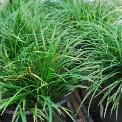 decorative grass southern california gardening ornamental grasses