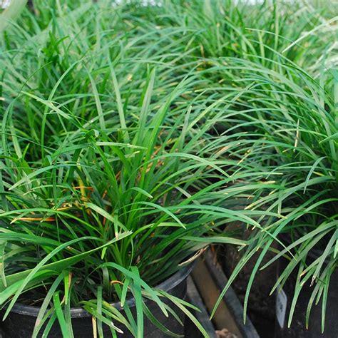 southern california gardening ornamental grasses