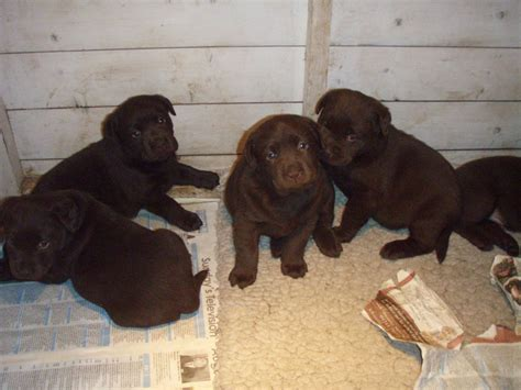 chocolate labrador puppies for sale chocolate labradors puppies for sale ludlow shropshire pets4homes
