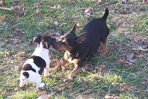 teddy roosevelt terrier puppies for sale teddy roosevelt terrier details breeds picture